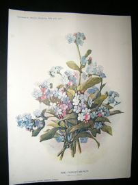 Amateur Gardening 1902 Botanical Print. The Forget-Me-Not